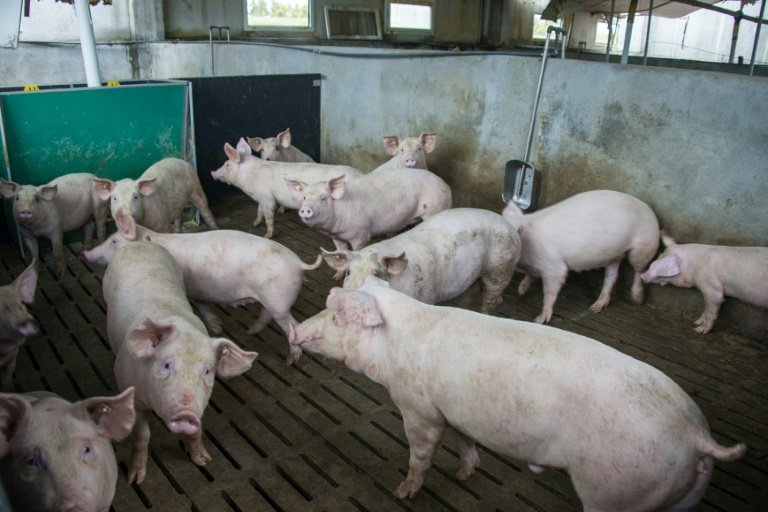 scientists keep pigs brains alive for 36 hours