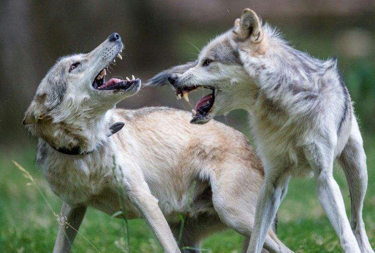 thewolfpopul.jpg