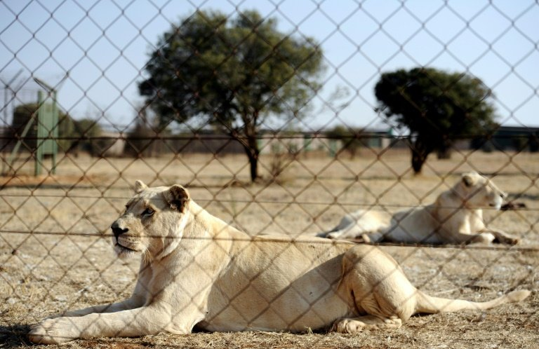 s african mps seek end of captive lion trophy hunting