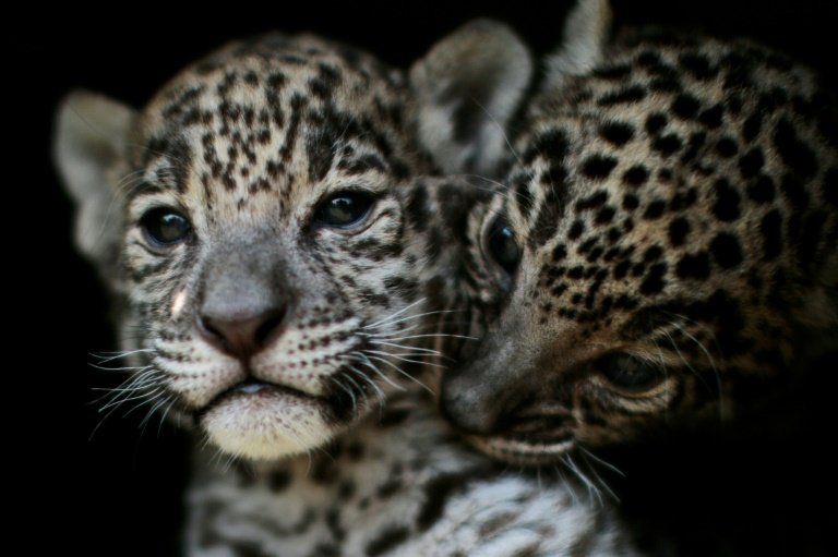 Mexico jaguar population grows 20% in eight years