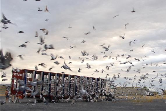 photo image Using whole genome analysis to home in on racing pigeon performance