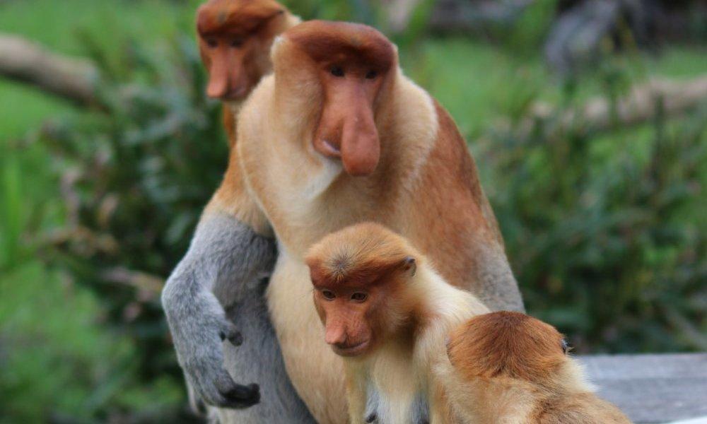 the mystery behind the proboscis monkey s big nose