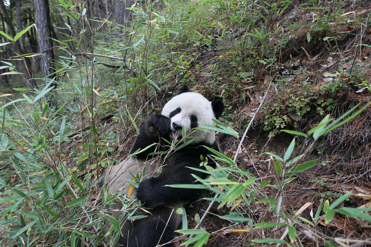 the giant panda conservation project The materials were captured from 2010 to 2014 by more than 470 infra-red camera traps set up in 29 nature reserves by wwf and its partners from the local forestry authority as part of the monitoring effort under the giant panda conservation program.