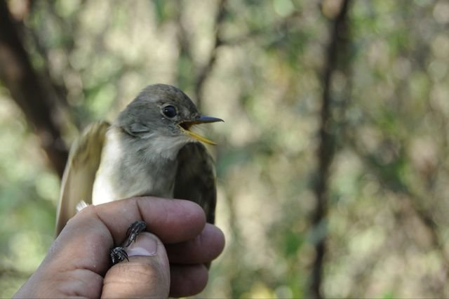 photo image Willow flycatchers, already an endangered species, also imperiled by climate change