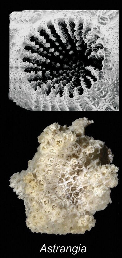 Coral found to prefer eating microplastic to natural food