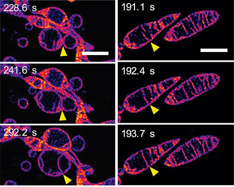 Live mitochondria seen in unprecedented detail: photobleaching in STED microscopy overcome