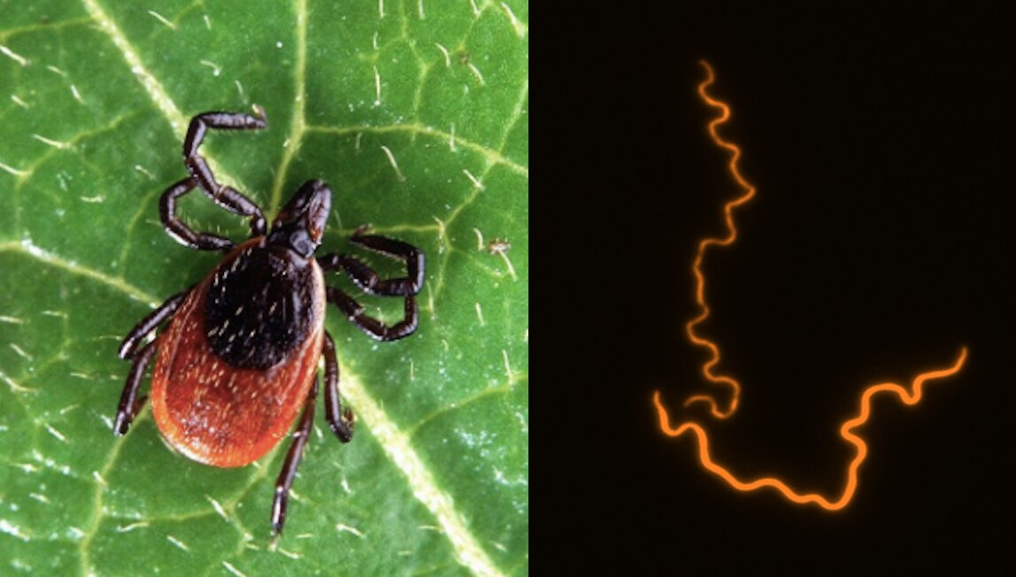 New Tick Disease 2019 Breakthrough paves way for new Lyme disease treatment