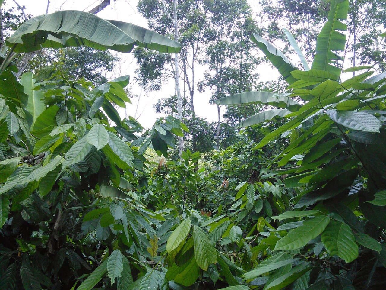 Why climate change means a rethink of coffee and cocoa production systems