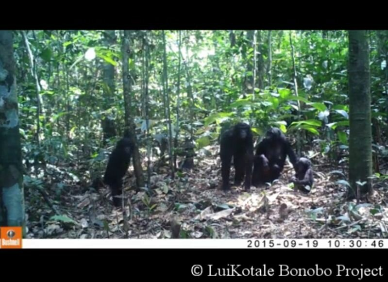 Scientists left camera traps to record wild apes—watch what happens