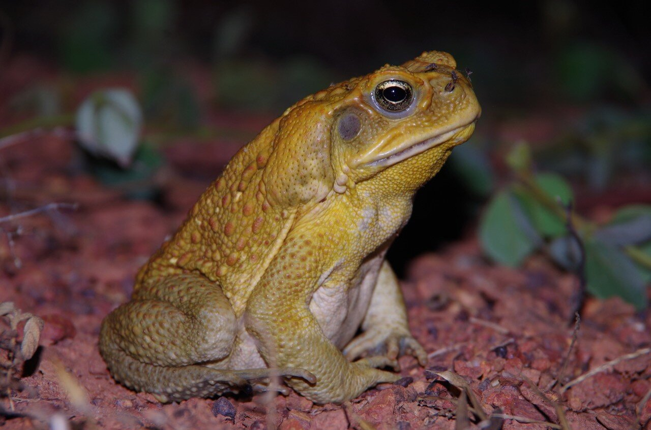 photo of New research finds cane toads use poison as a last resort image