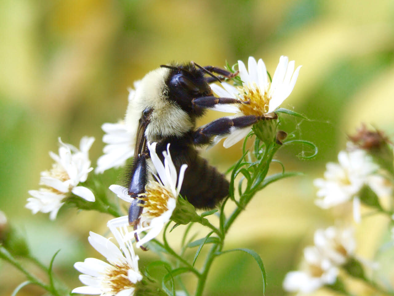photo of As bumblebee diets narrow, ours could too image