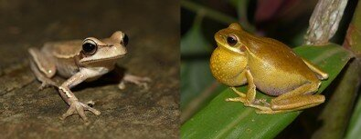 photo image Bacteria may help frogs attract mates
