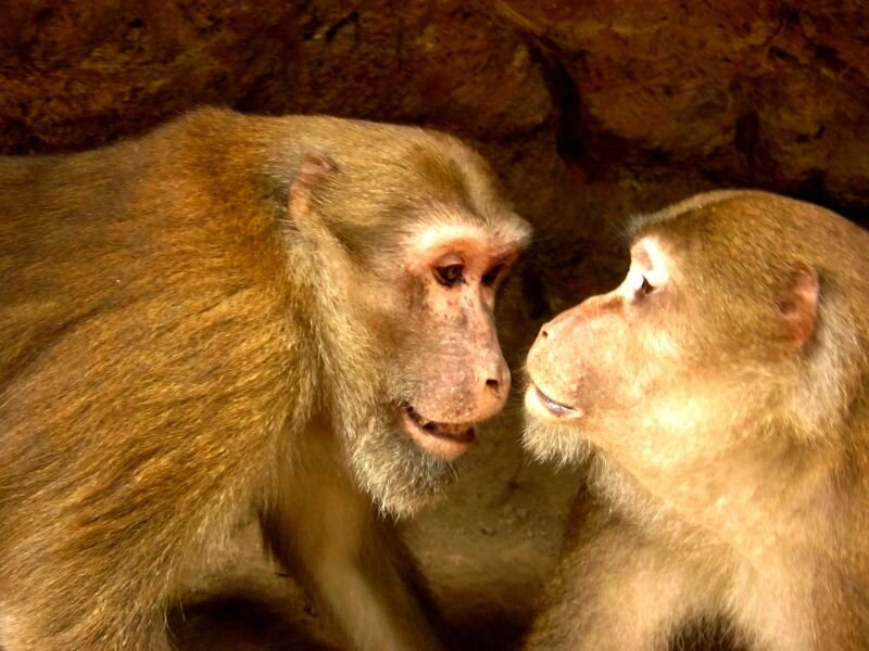 photo of Behavioral scientists test biological principle on free-living Assamese macaques image
