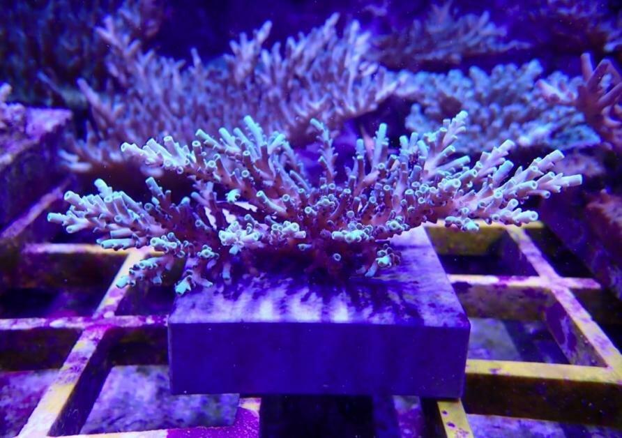 Breeding baby corals for warmer seas