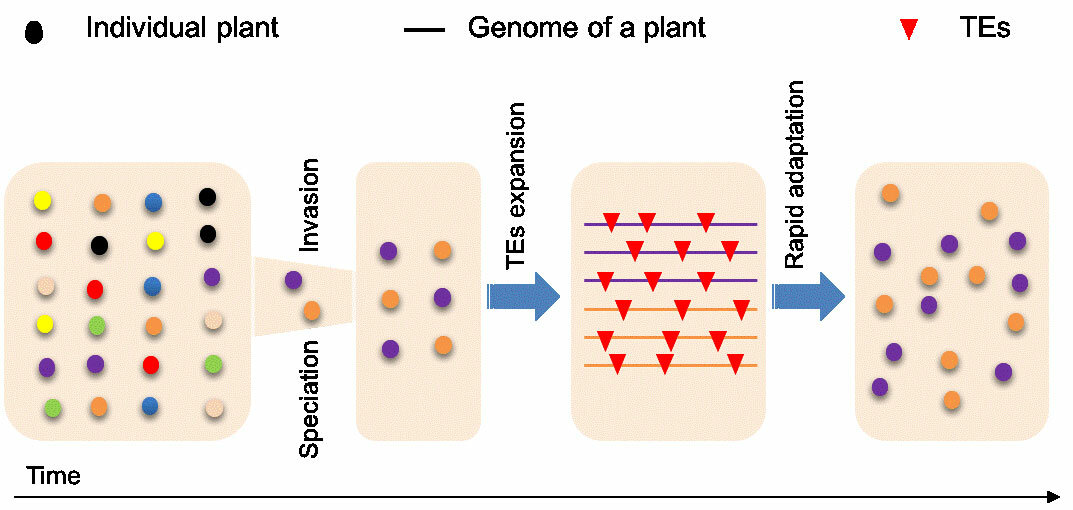 Expansion of transposable elements offers clue to genetic paradox