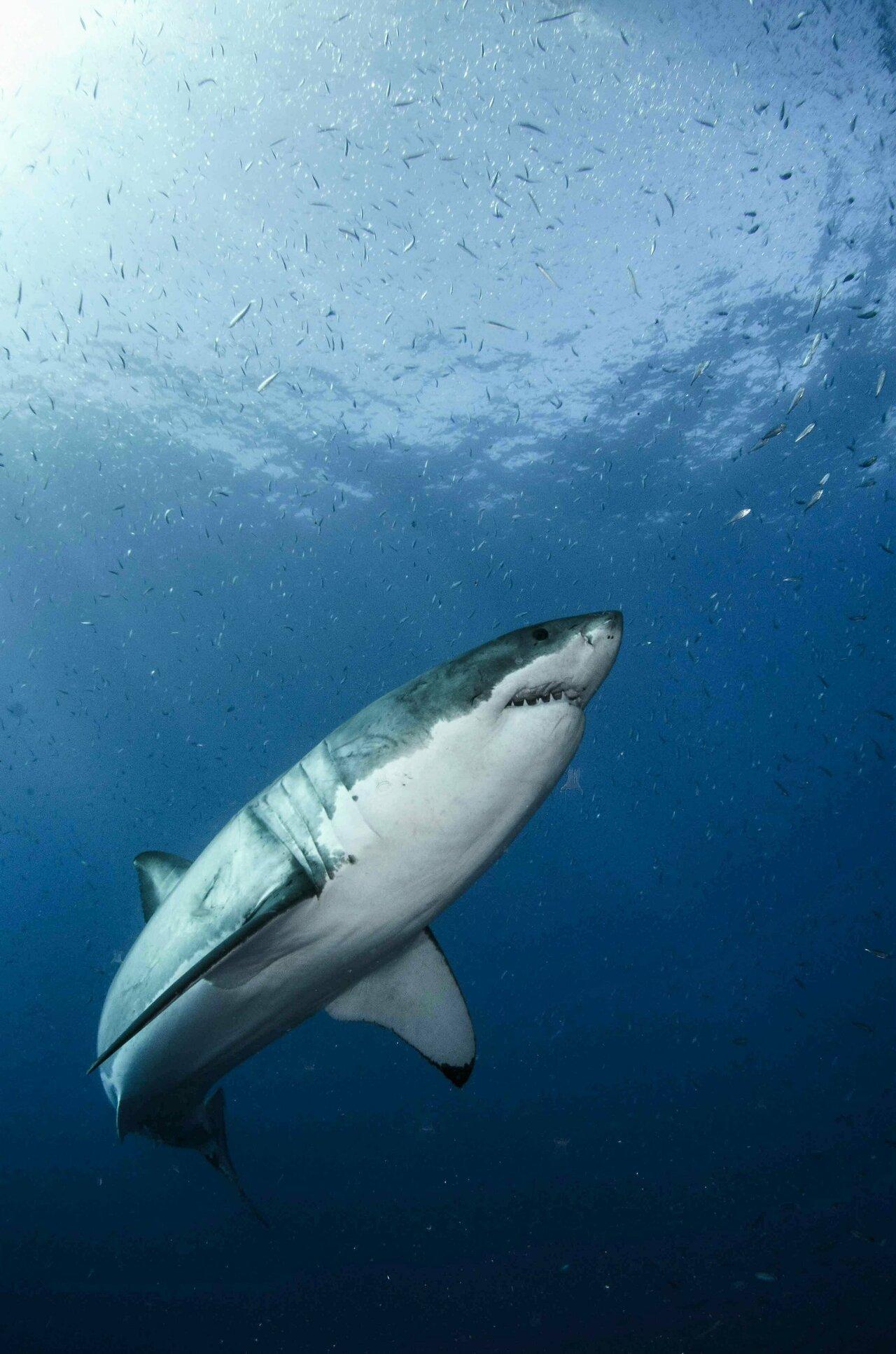 girl-teen-great-white-shark-sex