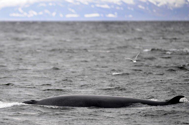 Iceland sets whaling quotas despite falling profits