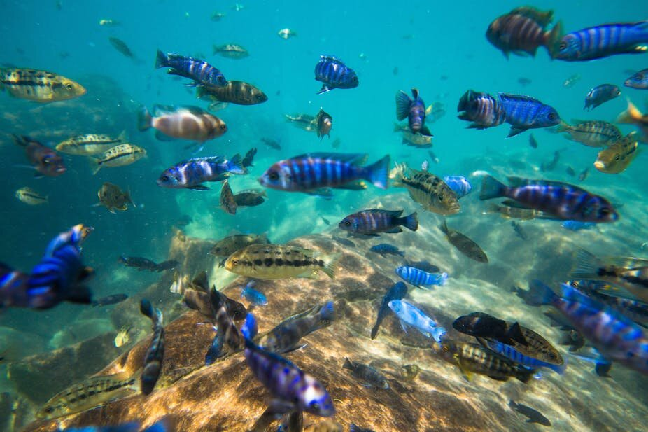 Lake Malawi is home to unique fish species. Nearly 10% are ...