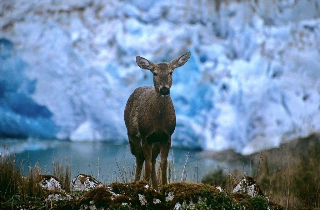 photo of Life-threatening foot disease found in endangered huemul deer in Chile image