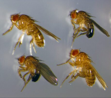 photo of Malnourished fruit flies preserve genital size to ensure reproductive success image