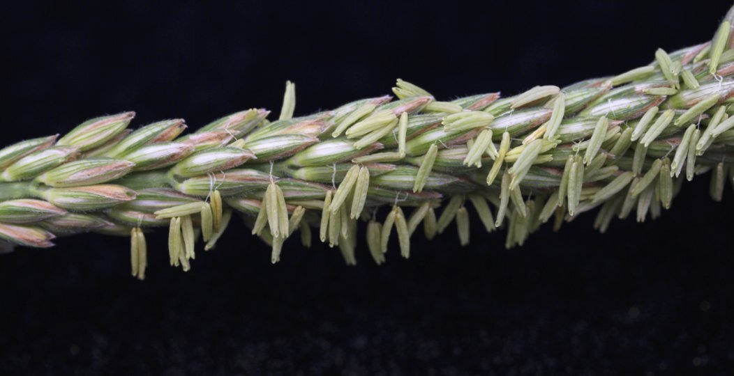 New key stages discovered in how plants prepare to make sex cells for reproduction