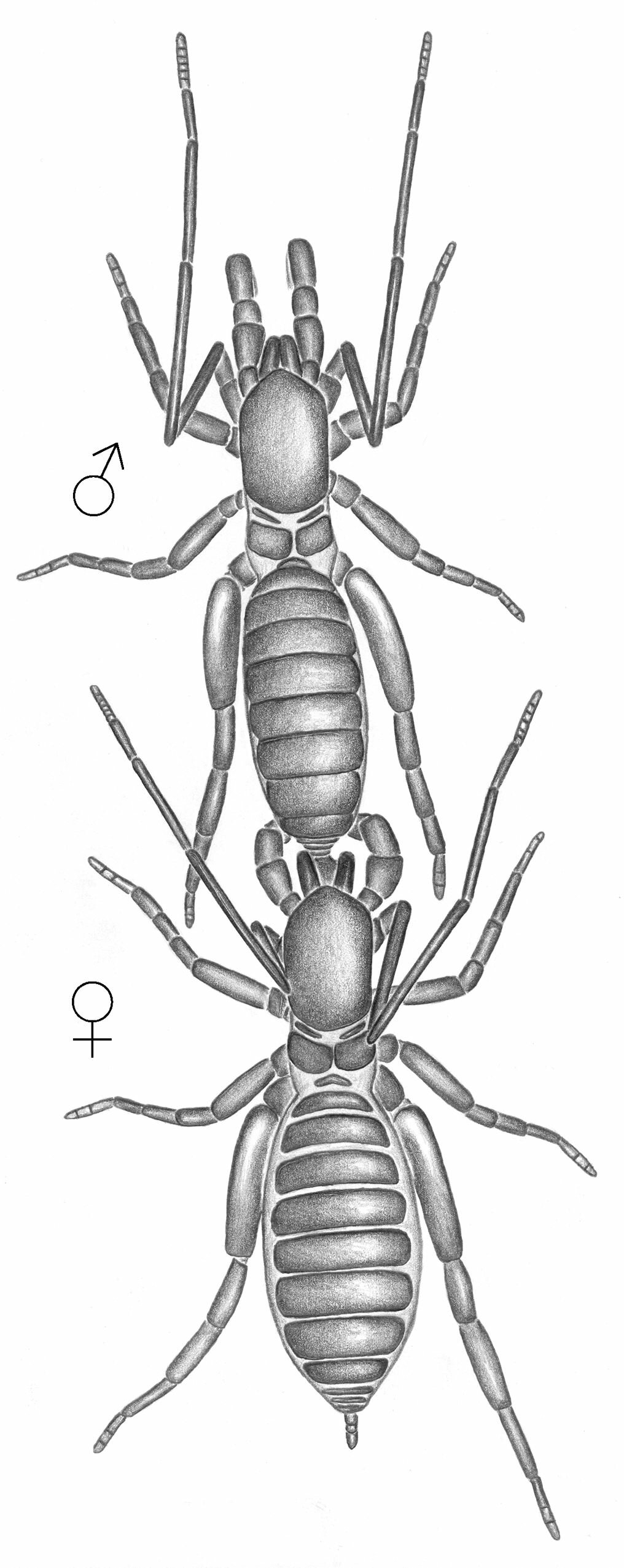 Mating march in Surazomus whip scorpion. Male dragging locked female by the flagellum (note female chelicerae in vertical position). Credit: Ruiz et al, 2019  Read more at: https://phys.org/news/2019-03-short-tailed-scorpion-species-amazon.html#jCp