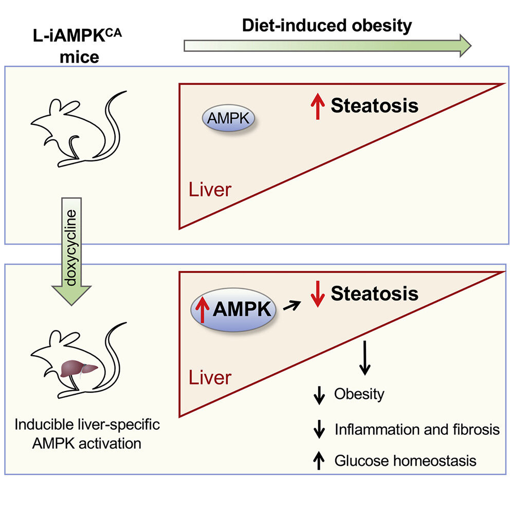 Scientists uncover the health effects of metabolic 'magic bullet' protein