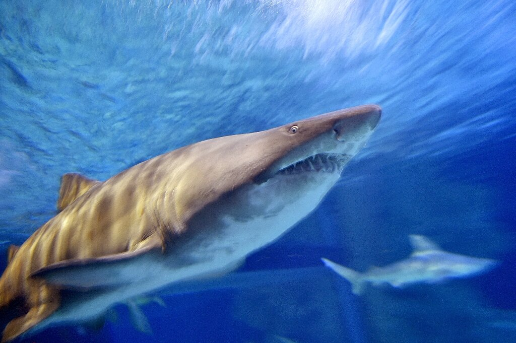 photo of Mediterranean sharks risk 'disappearing': conservationists image