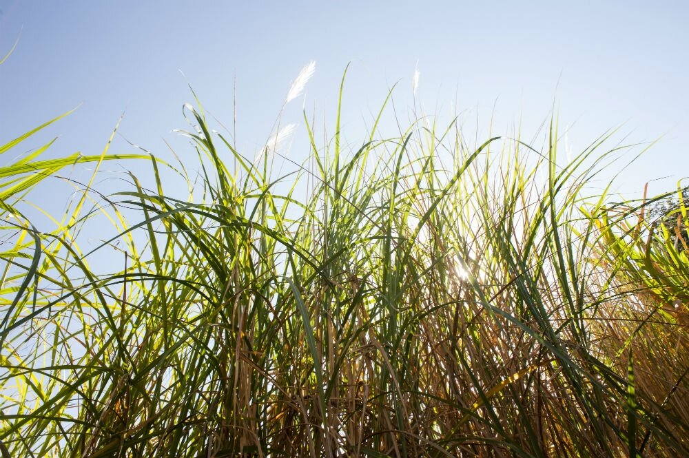 photo of Software locates sugarcane genes of interest image