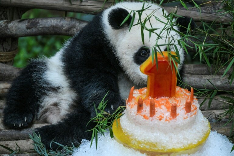 photo image Panda celebrates first birthday in Malaysian zoo with ice cake