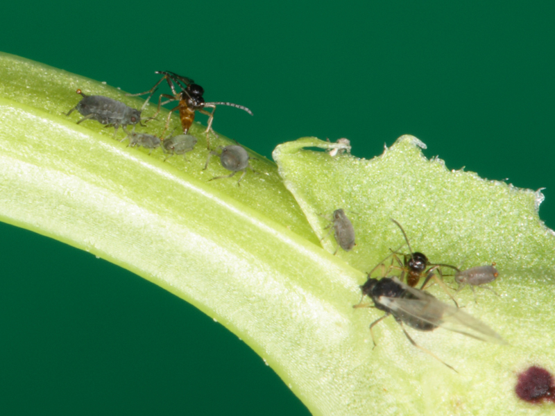 Aphids asexual reproduction in bacteria
