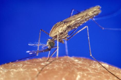 Mosquitoes Use Several Different Kinds Of Odor Sensors To Track