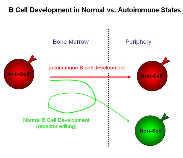 Reduction In Antibody Gene Rearrangement In B Cells