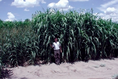 Wanted A Viable Arizona Biofuel Crop