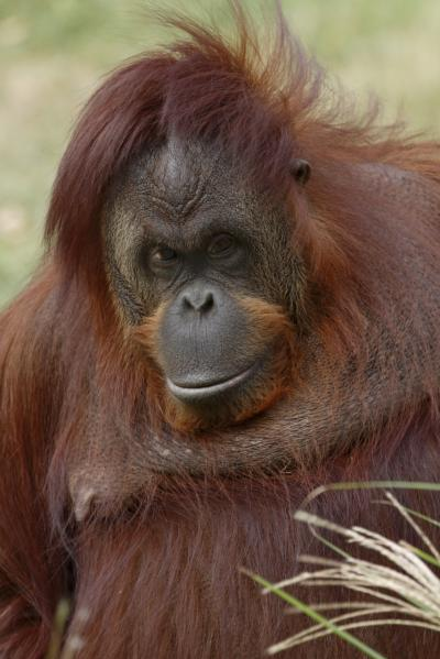 a study of orangutans Galdikas's primary mission was to study the behavior and ecology of wild orangutans since then, the research program at this wild orangutan research program is.
