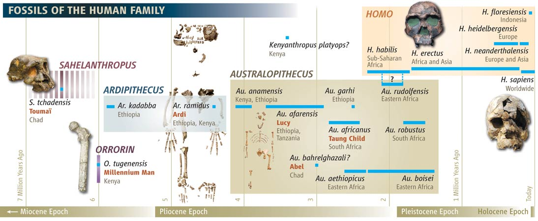 Before Lucy There Was Ardi Oldest Hominid Skeleton Provides