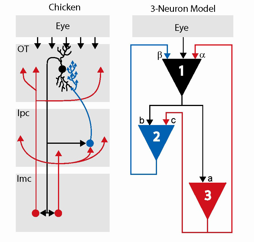 Mathematical model of a simple circuit in a chicken brain raises ...