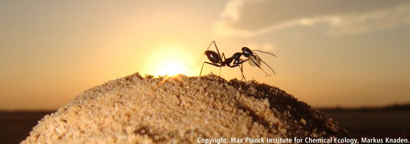 desert ants smell their way home
