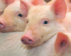 muscling in on a mystery protein study of brawny pigs reveals key