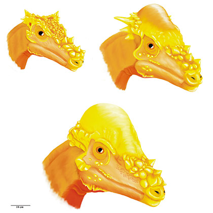 montana paleontologists compile growth series analyses The history and description of pachycephalosaurus involved many prominent dinosaur paleontologists of  analysis of mpm 8111  cranial growth series in figure one.