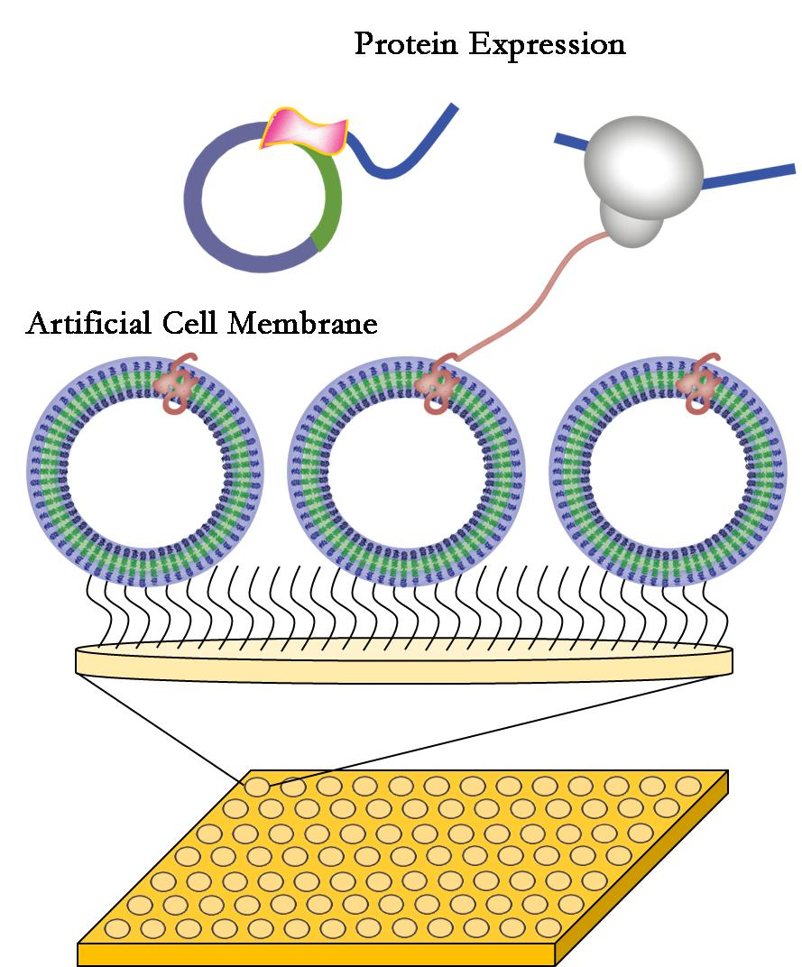 Plastic cell membranes for faster and cheaper drug development ccuart Images
