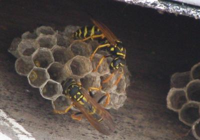 how to find a wasp nest nz