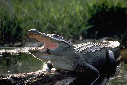 Alligator fat could be used to make biodiesel