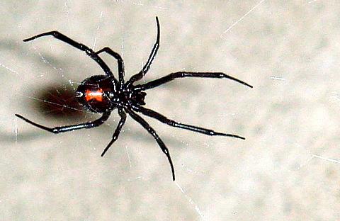 Female Black Widow Spider Image Wikipedia