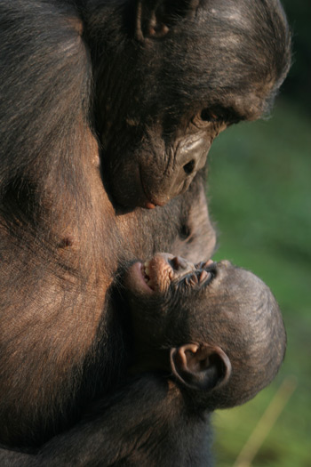 Female monkeys may shout during sex to help their
