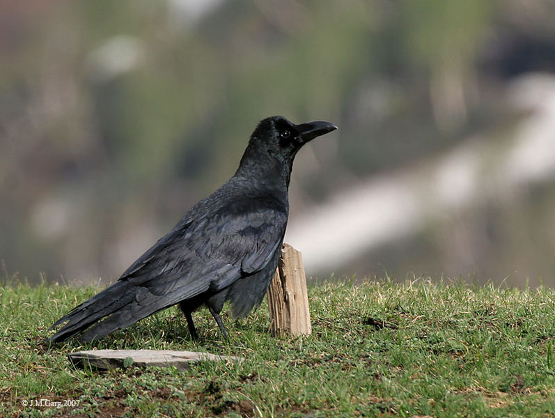 Crows Are Capable Of Distinguishing Symbols Study Finds