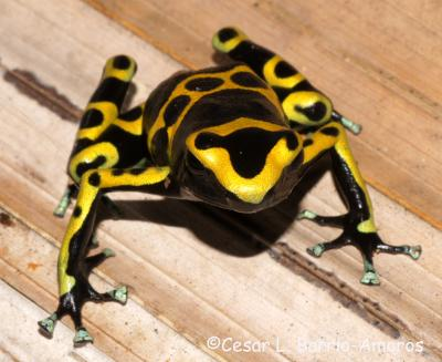 treadmill tests for poison frogs prove toxic species are more