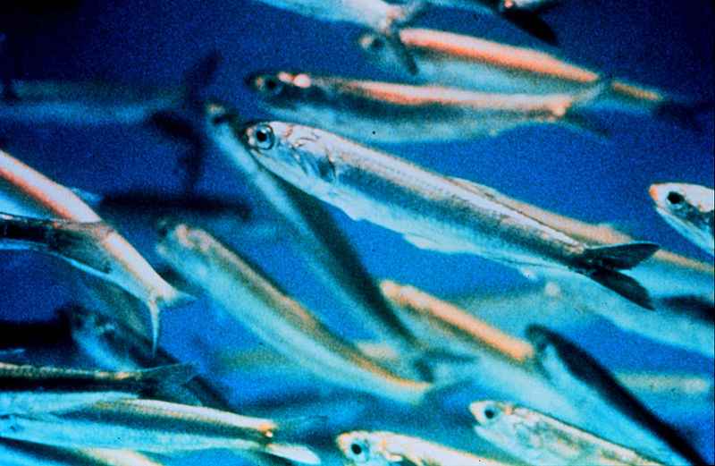 Harvesting of small fish species should be cut study for Small fish net
