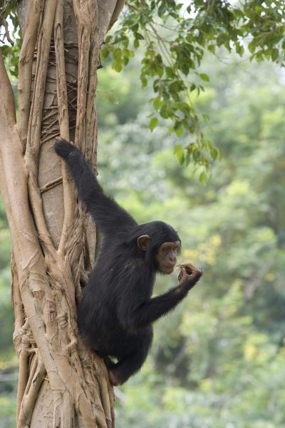 a comparison of the characteristics of humans and chimpanzees Humans as apes humans are great apes, along with orang-utans, gorillas, chimpanzees and bonobos the non-human great apes – and especially our closest living relatives, chimps and bonobos – have extraordinary mental capacities.