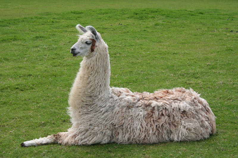 Llama dung contributed to Inca success in the Andes